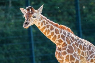 epa08487963 Henry, a newborn Rothschild's giraffe (Giraffa camelopardalis rothschildi) calf, frolics inside his enclosure at the 'Tierpark Berlin' zoo in Berlin, Germany, 16 June 2020. The 11-day-old male was born on 05 June and already measures around 2 meters (6 feet and 6.7 inches) in height and weighs an estimated 60 kilograms (132 pounds). Rothschild's giraffes are a critically-endangered subspecies, with only some 2,000 known specimens remaining in the wild. Adults can reach a height of up to 5.88 meters (19.3 feet) and a weight of around 1.13 tons (2,500 pounds).  EPA/OMER MESSINGER