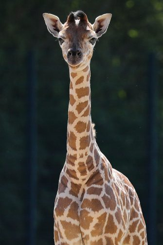 epa08487972 Henry, a newborn Rothschild's giraffe (Giraffa camelopardalis rothschildi) calf, frolics inside his enclosure at the 'Tierpark Berlin' zoo in Berlin, Germany, 16 June 2020. The 11-day-old male was born on 05 June and already measures around 2 meters (6 feet and 6.7 inches) in height and weighs an estimated 60 kilograms (132 pounds). Rothschild's giraffes are a critically-endangered subspecies, with only some 2,000 known specimens remaining in the wild. Adults can reach a height of up to 5.88 meters (19.3 feet) and a weight of around 1.13 tons (2,500 pounds).  EPA/OMER MESSINGER