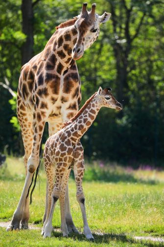 epa08487971 Henry, a newborn Rothschild's giraffe (Giraffa camelopardalis rothschildi) calf, stands next to his mother, Amalka, in their enclosure at the 'Tierpark Berlin' zoo in Berlin, Germany, 16 June 2020. The 11-day-old male was born on 05 June and already measures around 2 meters (6 feet and 6.7 inches) in height and weighs an estimated 60 kilograms (132 pounds). Rothschild's giraffes are a critically-endangered subspecies, with only some 2,000 known specimens remaining in the wild. Adults can reach a height of up to 5.88 meters (19.3 feet) and a weight of around 1.13 tons (2,500 pounds).  EPA/OMER MESSINGER