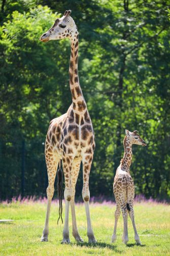epa08487967 Henry, a newborn Rothschild's giraffe (Giraffa camelopardalis rothschildi) calf, stands next to his mother, Amalka, in their enclosure at the 'Tierpark Berlin' zoo in Berlin, Germany, 16 June 2020. The 11-day-old male was born on 05 June and already measures around 2 meters (6 feet and 6.7 inches) in height and weighs an estimated 60 kilograms (132 pounds). Rothschild's giraffes are a critically-endangered subspecies, with only some 2,000 known specimens remaining in the wild. Adults can reach a height of up to 5.88 meters (19.3 feet) and a weight of around 1.13 tons (2,500 pounds).  EPA/OMER MESSINGER