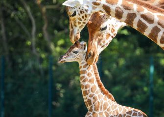 epa08487928 Henry, a newborn Rothschild's giraffe (Giraffa camelopardalis rothschildi) calf, is kept under the watchful gaze of adult giraffes inside their enclosure at the 'Tierpark Berlin' zoo in Berlin, Germany, 16 June 2020. The 11-day-old male was born on 05 June and already measures around 2 meters (6 feet and 6.7 inches) in height and weighs an estimated 60 kilograms (132 pounds). Rothschild's giraffes are a critically-endangered subspecies, with only some 2,000 known specimens remaining in the wild. Adults can reach a height of up to 5.88 meters (19.3 feet) and a weight of around 1.13 tons (2,500 pounds).  EPA/OMER MESSINGER