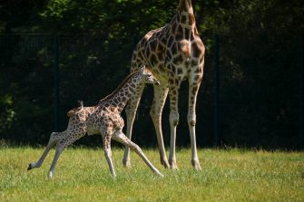 epa08487975 Henry, a newborn Rothschild's giraffe (Giraffa camelopardalis rothschildi) calf, frolics under the watchful gaze of his mother, Amalka, in their enclosure at the 'Tierpark Berlin' zoo in Berlin, Germany, 16 June 2020. The 11-day-old male was born on 05 June and already measures around 2 meters (6 feet and 6.7 inches) in height and weighs an estimated 60 kilograms (132 pounds). Rothschild's giraffes are a critically-endangered subspecies, with only some 2,000 known specimens remaining in the wild. Adults can reach a height of up to 5.88 meters (19.3 feet) and a weight of around 1.13 tons (2,500 pounds).  EPA/OMER MESSINGER