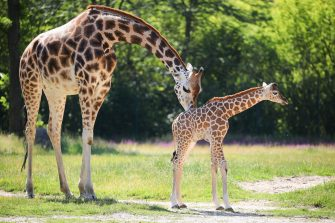 epa08487968 Henry, a newborn Rothschild's giraffe (Giraffa camelopardalis rothschildi) calf, stands next to his mother, Amalka, in their enclosure at the 'Tierpark Berlin' zoo in Berlin, Germany, 16 June 2020. The 11-day-old male was born on 05 June and already measures around 2 meters (6 feet and 6.7 inches) in height and weighs an estimated 60 kilograms (132 pounds). Rothschild's giraffes are a critically-endangered subspecies, with only some 2,000 known specimens remaining in the wild. Adults can reach a height of up to 5.88 meters (19.3 feet) and a weight of around 1.13 tons (2,500 pounds).  EPA/OMER MESSINGER