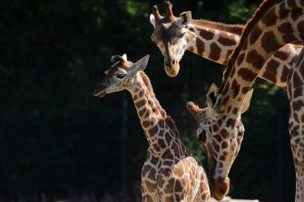epa08487974 Henry, a newborn Rothschild's giraffe (Giraffa camelopardalis rothschildi) calf, is groomed by his mother, Amalka, and his older sister in their enclosure at the 'Tierpark Berlin' zoo in Berlin, Germany, 16 June 2020. The 11-day-old male was born on 05 June and already measures around 2 meters (6 feet and 6.7 inches) in height and weighs an estimated 60 kilograms (132 pounds). Rothschild's giraffes are a critically-endangered subspecies, with only some 2,000 known specimens remaining in the wild. Adults can reach a height of up to 5.88 meters (19.3 feet) and a weight of around 1.13 tons (2,500 pounds).  EPA/OMER MESSINGER