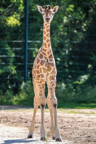 epa08487973 Henry, a newborn Rothschild's giraffe (Giraffa camelopardalis rothschildi) calf, frolics inside his enclosure at the 'Tierpark Berlin' zoo in Berlin, Germany, 16 June 2020. The 11-day-old male was born on 05 June and already measures around 2 meters (6 feet and 6.7 inches) in height and weighs an estimated 60 kilograms (132 pounds). Rothschild's giraffes are a critically-endangered subspecies, with only some 2,000 known specimens remaining in the wild. Adults can reach a height of up to 5.88 meters (19.3 feet) and a weight of around 1.13 tons (2,500 pounds).  EPA/OMER MESSINGER