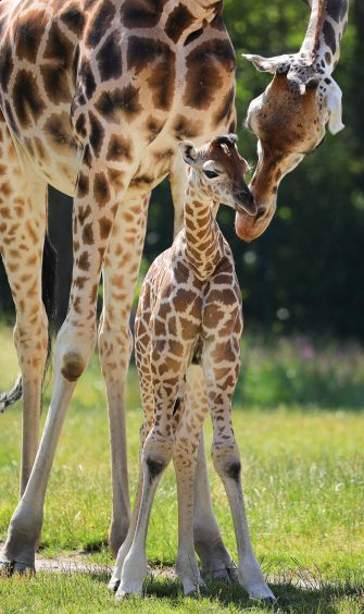 epa08487970 Henry, a newborn Rothschild's giraffe (Giraffa camelopardalis rothschildi) calf, cuddles with his mother, Amalka, in their enclosure at the 'Tierpark Berlin' zoo in Berlin, Germany, 16 June 2020. The 11-day-old male was born on 05 June and already measures around 2 meters (6 feet and 6.7 inches) in height and weighs an estimated 60 kilograms (132 pounds). Rothschild's giraffes are a critically-endangered subspecies, with only some 2,000 known specimens remaining in the wild. Adults can reach a height of up to 5.88 meters (19.3 feet) and a weight of around 1.13 tons (2,500 pounds).  EPA/OMER MESSINGER