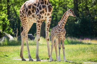 epa08487969 Henry, a newborn Rothschild's giraffe (Giraffa camelopardalis rothschildi) calf, stands next to his mother, Amalka, in their enclosure at the 'Tierpark Berlin' zoo in Berlin, Germany, 16 June 2020. The 11-day-old male was born on 05 June and already measures around 2 meters (6 feet and 6.7 inches) in height and weighs an estimated 60 kilograms (132 pounds). Rothschild's giraffes are a critically-endangered subspecies, with only some 2,000 known specimens remaining in the wild. Adults can reach a height of up to 5.88 meters (19.3 feet) and a weight of around 1.13 tons (2,500 pounds).  EPA/OMER MESSINGER