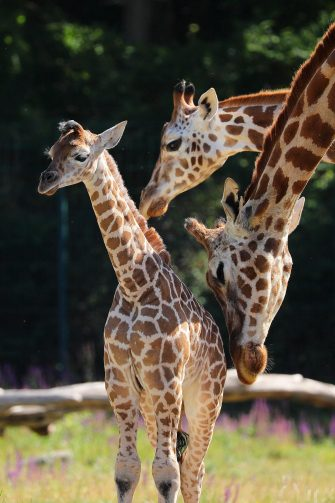 epa08487976 Henry, a newborn Rothschild's giraffe (Giraffa camelopardalis rothschildi) calf, is groomed by his mother, Amalka, and his older sister in their enclosure at the 'Tierpark Berlin' zoo in Berlin, Germany, 16 June 2020. The 11-day-old male was born on 05 June and already measures around 2 meters (6 feet and 6.7 inches) in height and weighs an estimated 60 kilograms (132 pounds). Rothschild's giraffes are a critically-endangered subspecies, with only some 2,000 known specimens remaining in the wild. Adults can reach a height of up to 5.88 meters (19.3 feet) and a weight of around 1.13 tons (2,500 pounds).  EPA/OMER MESSINGER