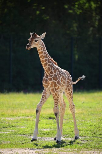 epa08487937 Henry, a newborn Rothschild's giraffe (Giraffa camelopardalis rothschildi) calf, frolics inside his enclosure at the 'Tierpark Berlin' zoo in Berlin, Germany, 16 June 2020. The 11-day-old male was born on 05 June and already measures around 2 meters (6 feet and 6.7 inches) in height and weighs an estimated 60 kilograms (132 pounds). Rothschild's giraffes are a critically-endangered subspecies, with only some 2,000 known specimens remaining in the wild. Adults can reach a height of up to 5.88 meters (19.3 feet) and a weight of around 1.13 tons (2,500 pounds).  EPA/OMER MESSINGER