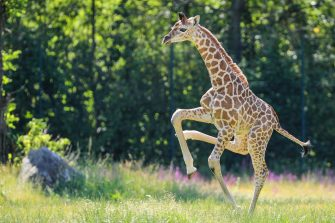 epa08487934 Henry, a newborn Rothschild's giraffe (Giraffa camelopardalis rothschildi) calf, frolics inside his enclosure at the 'Tierpark Berlin' zoo in Berlin, Germany, 16 June 2020. The 11-day-old male was born on 05 June and already measures around 2 meters (6 feet and 6.7 inches) in height and weighs an estimated 60 kilograms (132 pounds). Rothschild's giraffes are a critically-endangered subspecies, with only some 2,000 known specimens remaining in the wild. Adults can reach a height of up to 5.88 meters (19.3 feet) and a weight of around 1.13 tons (2,500 pounds).  EPA/OMER MESSINGER