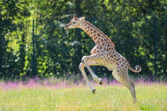 epa08487933 Henry, a newborn Rothschild's giraffe (Giraffa camelopardalis rothschildi) calf, frolics inside his enclosure at the 'Tierpark Berlin' zoo in Berlin, Germany, 16 June 2020. The 11-day-old male was born on 05 June and already measures around 2 meters (6 feet and 6.7 inches) in height and weighs an estimated 60 kilograms (132 pounds). Rothschild's giraffes are a critically-endangered subspecies, with only some 2,000 known specimens remaining in the wild. Adults can reach a height of up to 5.88 meters (19.3 feet) and a weight of around 1.13 tons (2,500 pounds).  EPA/OMER MESSINGER