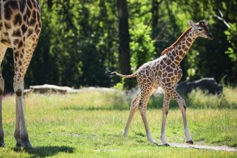 epa08487938 Henry, a newborn Rothschild's giraffe (Giraffa camelopardalis rothschildi) calf, frolics next to adult giraffes inside their enclosure at the 'Tierpark Berlin' zoo in Berlin, Germany, 16 June 2020. The 11-day-old male was born on 05 June and already measures around 2 meters (6 feet and 6.7 inches) in height and weighs an estimated 60 kilograms (132 pounds). Rothschild's giraffes are a critically-endangered subspecies, with only some 2,000 known specimens remaining in the wild. Adults can reach a height of up to 5.88 meters (19.3 feet) and a weight of around 1.13 tons (2,500 pounds).  EPA/OMER MESSINGER