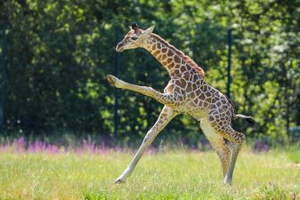 epa08487932 Henry, a newborn Rothschild's giraffe (Giraffa camelopardalis rothschildi) calf, frolics inside his enclosure at the 'Tierpark Berlin' zoo in Berlin, Germany, 16 June 2020. The 11-day-old male was born on 05 June and already measures around 2 meters (6 feet and 6.7 inches) in height and weighs an estimated 60 kilograms (132 pounds). Rothschild's giraffes are a critically-endangered subspecies, with only some 2,000 known specimens remaining in the wild. Adults can reach a height of up to 5.88 meters (19.3 feet) and a weight of around 1.13 tons (2,500 pounds).  EPA/OMER MESSINGER