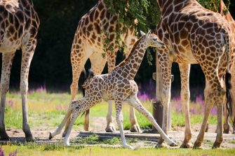 epa08487929 Henry, a newborn Rothschild's giraffe (Giraffa camelopardalis rothschildi) calf, frolics next to adult giraffes inside their enclosure at the 'Tierpark Berlin' zoo in Berlin, Germany, 16 June 2020. The 11-day-old male was born on 05 June and already measures around 2 meters (6 feet and 6.7 inches) in height and weighs an estimated 60 kilograms (132 pounds). Rothschild's giraffes are a critically-endangered subspecies, with only some 2,000 known specimens remaining in the wild. Adults can reach a height of up to 5.88 meters (19.3 feet) and a weight of around 1.13 tons (2,500 pounds).  EPA/OMER MESSINGER