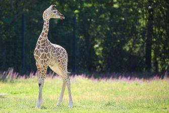 epa08487936 Henry, a newborn Rothschild's giraffe (Giraffa camelopardalis rothschildi) calf, frolics inside his enclosure at the 'Tierpark Berlin' zoo in Berlin, Germany, 16 June 2020. The 11-day-old male was born on 05 June and already measures around 2 meters (6 feet and 6.7 inches) in height and weighs an estimated 60 kilograms (132 pounds). Rothschild's giraffes are a critically-endangered subspecies, with only some 2,000 known specimens remaining in the wild. Adults can reach a height of up to 5.88 meters (19.3 feet) and a weight of around 1.13 tons (2,500 pounds).  EPA/OMER MESSINGER