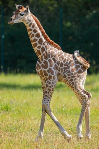 epa08487931 Henry, a newborn Rothschild's giraffe (Giraffa camelopardalis rothschildi) calf, frolics inside his enclosure at the 'Tierpark Berlin' zoo in Berlin, Germany, 16 June 2020. The 11-day-old male was born on 05 June and already measures around 2 meters (6 feet and 6.7 inches) in height and weighs an estimated 60 kilograms (132 pounds). Rothschild's giraffes are a critically-endangered subspecies, with only some 2,000 known specimens remaining in the wild. Adults can reach a height of up to 5.88 meters (19.3 feet) and a weight of around 1.13 tons (2,500 pounds).  EPA/OMER MESSINGER