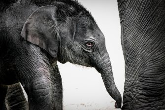 epa08493362 A new born female elephant-calf (Elephantidae)  walks with her mother in their enclosure in the Cologne Zoo, in Cologne, Germany, 18 June 2020. The still unnamed calf was born on 17 June 2020.  EPA/SASCHA STEINBACH