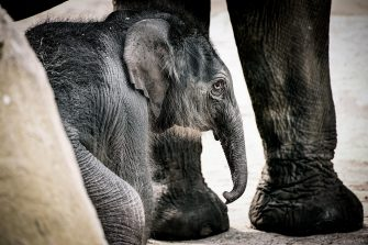 epa08493358 A new born female elephant-calf (Elephantidae)  walks with her mother in their enclosure in the Cologne Zoo, in Cologne, Germany, 18 June 2020. The still unnamed calf was born on 17 June 2020.  EPA/SASCHA STEINBACH