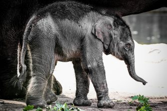 epa08493356 A new born female elephant-calf (Elephantidae)  walks with her mother in their enclosure in the Cologne Zoo, in Cologne, Germany, 18 June 2020. The still unnamed calf was born on 17 June 2020.  EPA/SASCHA STEINBACH