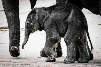 epa08493355 A new born female elephant-calf (Elephantidae)  walks with her mother in their enclosure in the Cologne Zoo, in Cologne, Germany, 18 June 2020. The still unnamed calf was born on 17 June 2020.  EPA/SASCHA STEINBACH