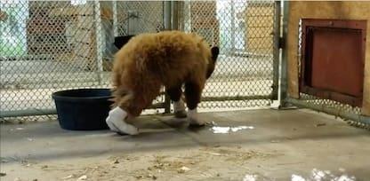 Colorado, orso ferito in un incendio: salvato e curato. VIDEO