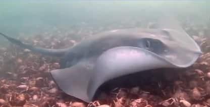 Australia, la razza nuota sopra un 'tappeto' di granchi. VIDEO