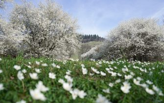 Fruit trees stand in full bloom on a meadow in Kappelodeck near Baden-Baden, southern Germany, where temperatures were expected to reach up to 17 degrees Celsius on March 22, 2019. (Photo by Benedikt Spether / dpa / AFP) / Germany OUT        (Photo credit should read BENEDIKT SPETHER/DPA/AFP via Getty Images)