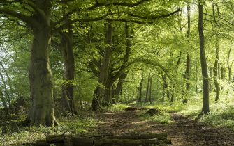 GLOUCESTERSHIRE, UNITED KINGDOM: Woodland path by ancient beech trees - Fagus - in late spring, early summer  in the Gloucestershire Cotswolds, United Kingdom.  (Photo by Tim Graham/Getty Images)
