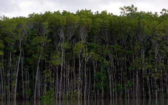 AUSTRALIA - FEBRUARY 25:  Mangrove trees grow in the shallows of the Mossman River, Daintree, Australia.  (Photo by Tim Graham/Getty Images)