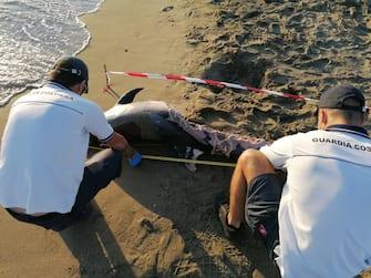 Due delfini sono stati trovati morti dalla guardia costiera sulla costa di Fiumicino, entrambi sulla spiaggia di Focene, Fiumicino, 29o Giugno 2020. ANSA/UFFICIO STAMPA/CAPITANERIA DI PORTO ROMA