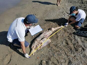 Trovati due delfini morti sulla costa di Fiumicino. FOTO