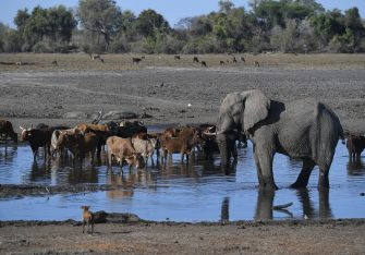 An elephant stands next to cows drinking water in one of the dry channel of the wildlife reach Okavango Delta near the Nxaraga village in the outskirt of Maun, on 28 September 2019. - The Okavango Delta is one of Africa's last remaining great wildlife habitat and provides refuge to huge concentrations of game. Botswana government declared this year as a drought year due to no rain fall through out the country. (Photo by MONIRUL BHUIYAN / AFP) (Photo by MONIRUL BHUIYAN/AFP via Getty Images)