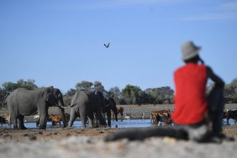 A farmer look at his cattle drinking water in one of the dry channel of the wildlife reach Okavango Delta near the Nxaraga village in the outskirt of Maun, on 28 September 2019. - The Okavango Delta is one of Africa's last remaining great wildlife habitat and provides refuge to huge concentrations of game. Botswana government declared this year as a drought year due to no rain fall through out the country. (Photo by MONIRUL BHUIYAN / AFP) (Photo by MONIRUL BHUIYAN/AFP via Getty Images)