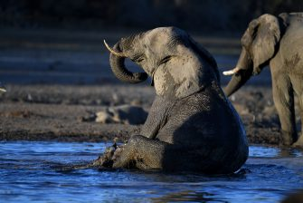 TOPSHOT - An elephant sits in the water in one of the dry channel of the wildlife reach Okavango Delta near the Nxaraga village in the outskirt of Maun, on 28 September 2019. - The Okavango Delta is one of Africa's last remaining great wildlife habitat and provides refuge to huge concentrations of game. Botswana government declared this year as a drought year due to no rain fall through out the country. (Photo by MONIRUL BHUIYAN / AFP) (Photo by MONIRUL BHUIYAN/AFP via Getty Images)