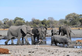 Elephants drink water in one of the dry channel of the wildlife reach Okavango Delta near the Nxaraga village in the outskirt of Maun, on 28 September 2019. - The Okavango Delta is one of Africa's last remaining great wildlife habitat and provides refuge to huge concentrations of game. Botswana government declared this year as a drought year due to no rain fall through out the country. (Photo by MONIRUL BHUIYAN / AFP) (Photo by MONIRUL BHUIYAN/AFP via Getty Images)