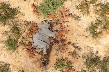 epa08524236 Aerial view of the carcass of one of the approximately 350 elephants that have been found dead for unknown reasons in the Okavango Delta area, near the town of Maun, northern Botswana, 03 July 2020. This unprecedented death toll for the pachyderms does not appear to be related to poaching, as their coveted ivory tusks are still attached to the corpses. Authorities are performing various tests to determine the cause of death.  EPA/STR