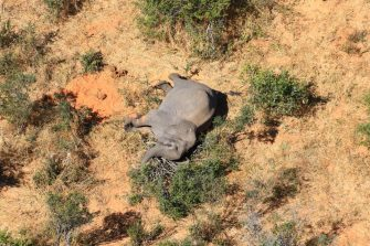 epa08524245 Aerial view of the carcass of one of the approximately 350 elephants that have been found dead for unknown reasons in the Okavango Delta area, near the town of Maun, northern Botswana, 03 July 2020. This unprecedented death toll for the pachyderms does not appear to be related to poaching, as their coveted ivory tusks are still attached to the corpses. Authorities are performing various tests to determine the cause of death.  EPA/STR