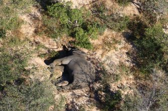 epa08524242 Aerial view of the carcass of one of the approximately 350 elephants that have been found dead for unknown reasons in the Okavango Delta area, near the town of Maun, northern Botswana, 03 July 2020. This unprecedented death toll for the pachyderms does not appear to be related to poaching, as their coveted ivory tusks are still attached to the corpses. Authorities are performing various tests to determine the cause of death.  EPA/STR