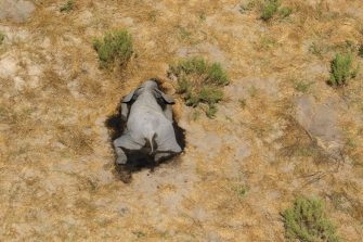 epa08524237 Aerial view of the carcass of one of the approximately 350 elephants that have been found dead for unknown reasons in the Okavango Delta area, near the town of Maun, northern Botswana, 03 July 2020. This unprecedented death toll for the pachyderms does not appear to be related to poaching, as their coveted ivory tusks are still attached to the corpses. Authorities are performing various tests to determine the cause of death.  EPA/STR