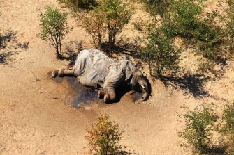 epa08524239 Aerial view of the carcass of one of the approximately 350 elephants that have been found dead for unknown reasons in the Okavango Delta area, near the town of Maun, northern Botswana, 03 July 2020. This unprecedented death toll for the pachyderms does not appear to be related to poaching, as their coveted ivory tusks are still attached to the corpses. Authorities are performing various tests to determine the cause of death.  EPA/STR