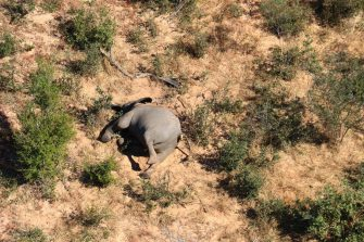 epa08524234 Aerial view of the carcass of one of the approximately 350 elephants that have been found dead for unknown reasons in the Okavango Delta area, near the town of Maun, northern Botswana, 03 July 2020. This unprecedented death toll for the pachyderms does not appear to be related to poaching, as their coveted ivory tusks are still attached to the corpses. Authorities are performing various tests to determine the cause of death.  EPA/STR
