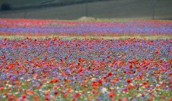 PERUGIA, ITALY - JULY 10:  A general view during the annual blossom in Castelluccio on July 10, 2018 in Castelluccio di Norcia near Perugia, Italy.  (Photo by Giuseppe Bellini/Getty Images)