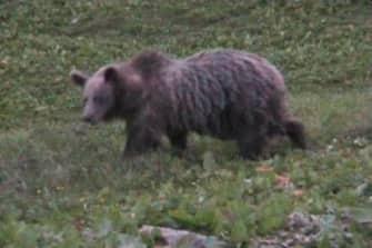 20050721 - STENICO - CRO - TURISMO:TRENTINO; ORSO DELLE SCORRIBANDE ATTIRA TURISTI  FILMATO DA UN PASTORE E DA DUE AMICI MENTRE MANGIA LE PECORE - Un fermoimmagine, tratto dal filmino girato da due  videoamatori di Stenico nel Parco Adamello Brenta,  di un orso che fa parte del progetto Life Ursus. La reintroduzione dell'orso in Trentino e' un evento  visto positivamente dai residenti, meno dai pastori perche' gli orsi, che girano liberi nel Parco,  affamati sbranano le pecore che vi pascolano. ANSA / RED