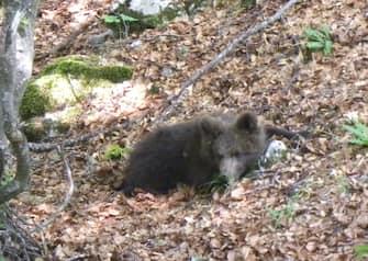 Il cucciolo di orso bruno recuperato il mese scorso dai forestali in Val Rendena e rinchiuso dell'area faunistica del Casteller a sud di Trento,  rilasciato questa mattina, 1 LUGLIO 2011,  nei boschi del Brenta meridionale, dopo aver recuperato il peso forma. ANSA / LIFE URSUS