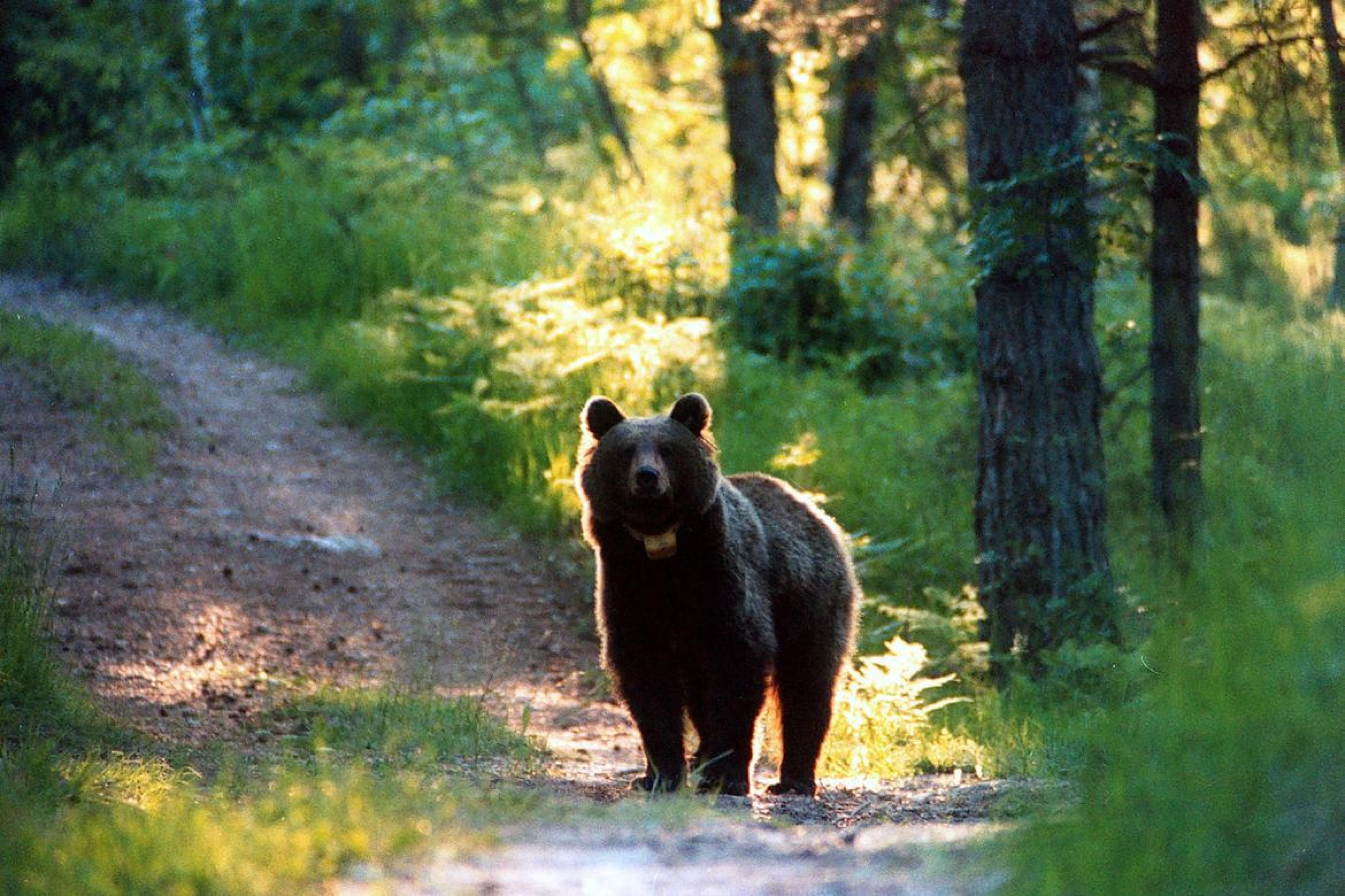(ARCHIVIO) Un orso in Trentino, in una immagine di archivio. ANSA/UFF STAMPA PAT ++NO SALES, EDITORIAL USE ONLY++