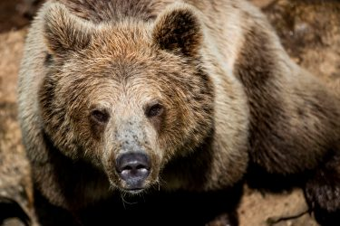 """ROME, ITALY - JUNE 25: A Brown Bear is seen at the """"Bioparco"""" (Rome zoo) during a heat wave, on June 25, 2019 in Rome, Italy. (Photo by Antonio Masiello/Getty Images)"""