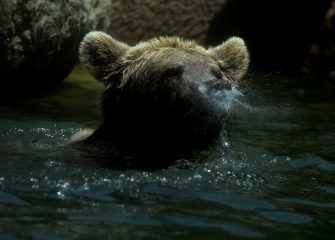 A bear refreshes himself in a pool of water at the Rome zoo (Bioparco di Roma) as temperatures reach 30 degrees on June 15, 2019 in the Italian capital. (Photo by Filippo MONTEFORTE / AFP)        (Photo credit should read FILIPPO MONTEFORTE/AFP via Getty Images)