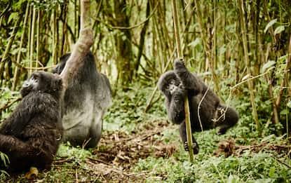 Ruanda, le spettacolari immagini dei gorilla di montagna. FOTO