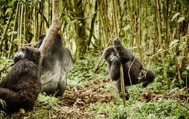 Gorilla di montagna (Giovanni Zaccagnini)