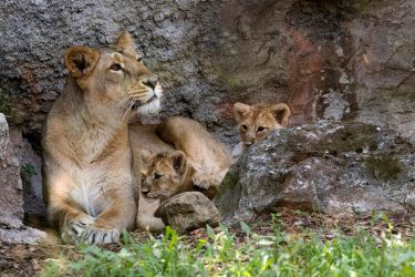 Newborn Asian lion cubs play together next to their mother, in their enclosure at the Bioparco zoo, in Rome, on July 10, 2020. (Photo by Tiziana FABI / AFP) (Photo by TIZIANA FABI/AFP via Getty Images)